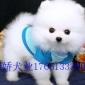 纯种博美犬幼犬活体长不大茶杯犬白色博美俊介小型犬家养宠物犬