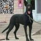纯种黑狼犬多少钱一条 好的黑狼犬价格 黑狼犬小狗崽多少钱